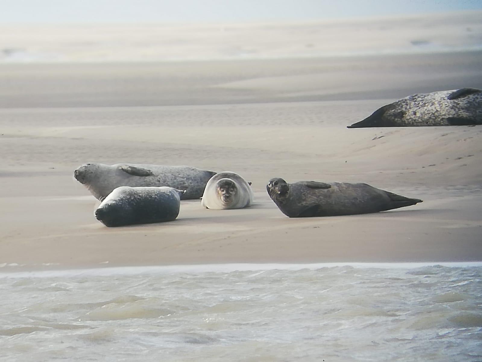 les phoques de Cayeux-sur-Mer